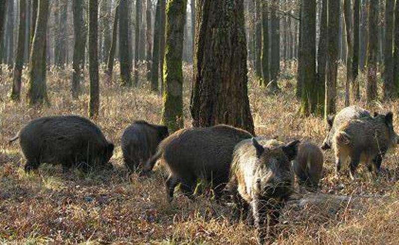 Охота на кабана в Пензенской области 2015