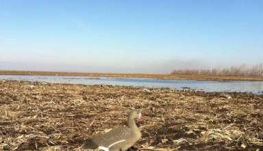 Охота на гуся в липецкой области 2017 года
