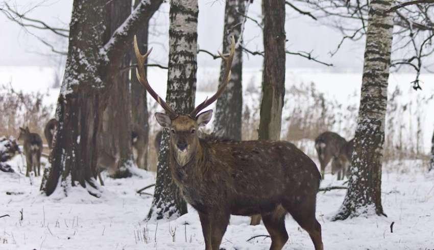 Охота на лося зимой 2015 - 2016