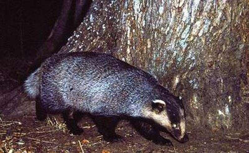 Охота на барсука петлями 2015