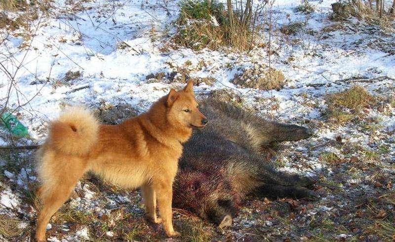 Охота на кабана с собаками 2015